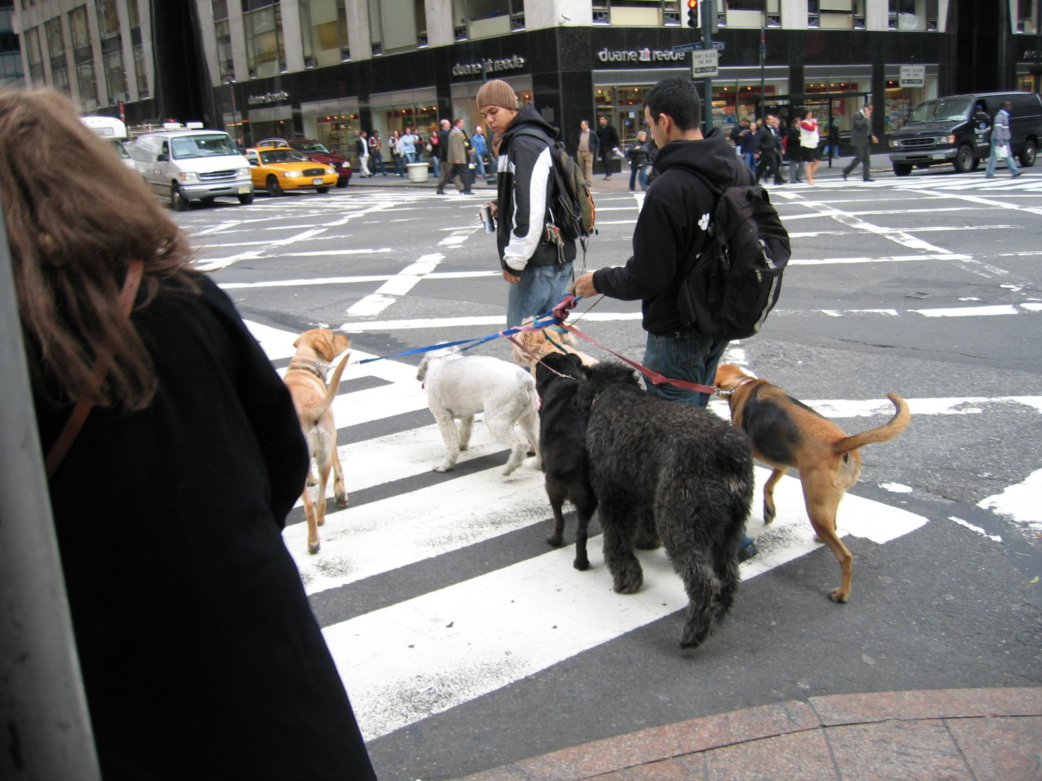 Dog walker – jedyna fucha w NYC, której kryzys nie grozi